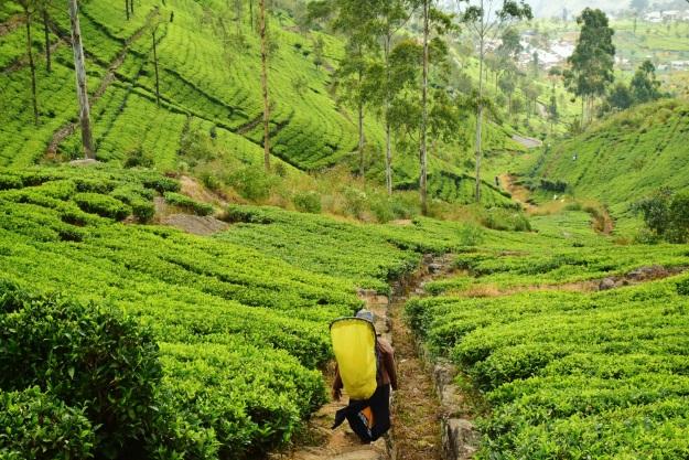 Plantações de chá em Haputale